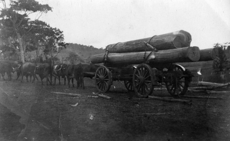 Wally Munro's bullock Team at Reesville, near Maleny, Queensland<br /> <br /> Photo from Wally Munro Collection - May McGilvery (nee Munro).