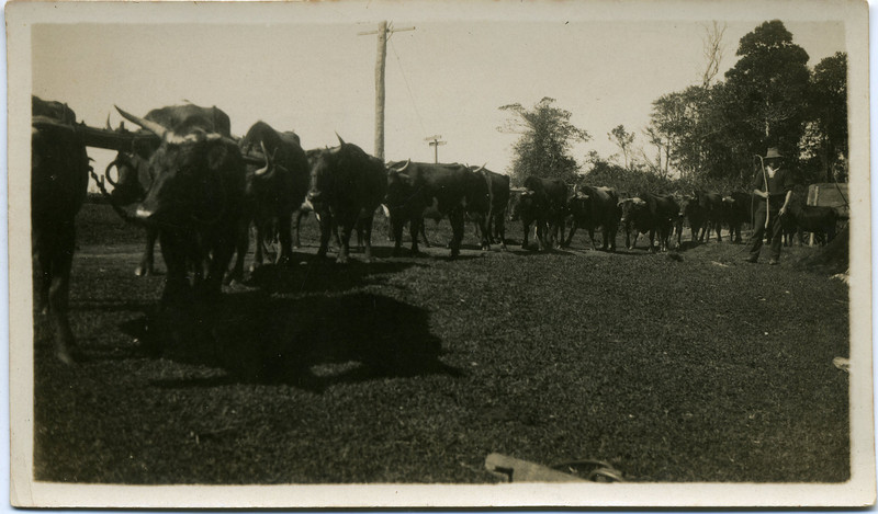 Wally Munro and his Bullock Team.  Photo taken at Gibson's property at Baroobin, North Coast, Queensland<br /> <br /> Photo from Wally Munro Collection - May McGilvery (nee Munro).