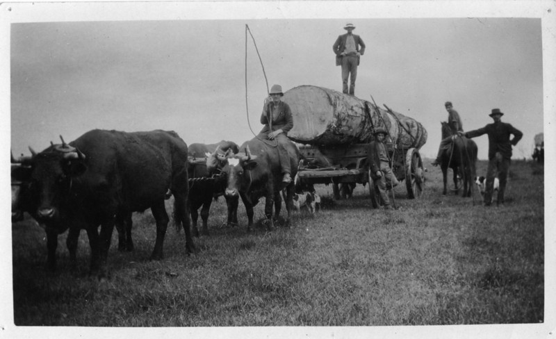 Closer up shot of previous photograph.<br /> <br /> This is Wally Munro's bullock team hauling a cudgery tree off Alex Hunt's farm near Springdale, close to Maleny in 1927.<br /> <br /> Wally Munro is sitting on the bullock with the stock whip.<br /> George Hankinson standing with Wallies dog behind him.  (George Hankinson is Ted's father.)<br /> Identity of the other men unknown.<br /> Robinson Studios, Photographer, Nambour - stamped on back.<br /> <br /> Photo from Wally Munro Collection - May McGilvery (nee Munro).