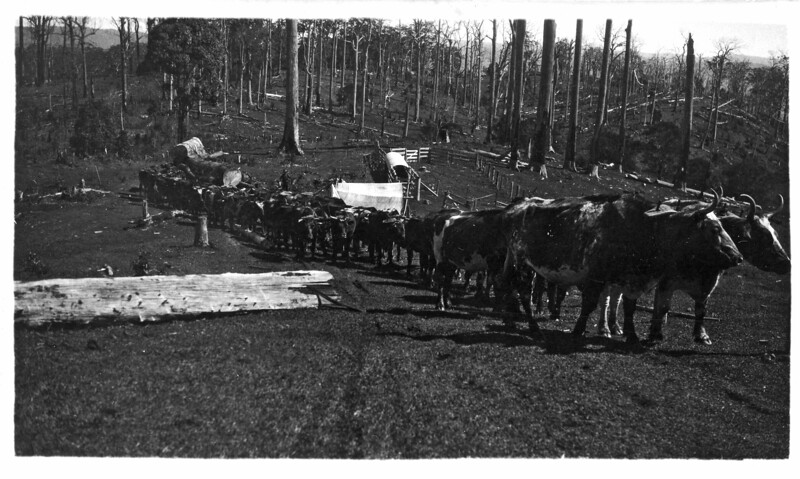Ted Hankinson's bullock team standing at the front<br /> Wally Munro's bullock team standing at the rear<br /> Photo taken at Gibson's property at Baroobin, North Coast, Queensland<br /> Stamped SN Collard - Maleny on back of photograph<br /> <br /> Photo from Wally Munro Collection - May McGilvery (nee Munro).