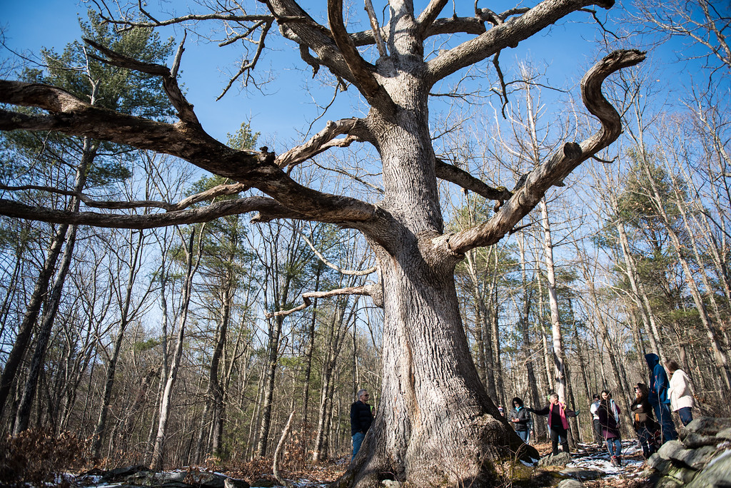 . (01/21/18 PRINCETON MA) The nature walk stops at a large tree inside the Wachusett Meadow Wildlife Sanctuary in Princeton during a nature walk on Sunday.  SENTINEL & ENTERPRISE JEFF PORTER