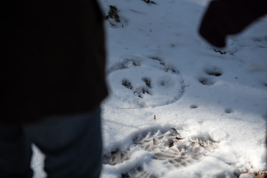 . (01/21/18 PRINCETON MA) The tour guide circles the site of rabbit tracks for hikers to observe during a nature walk on Sunday at the Wachusett Meadow Wildlife Sanctuary in Princeton.  SENTINEL & ENTERPRISE JEFF PORTER
