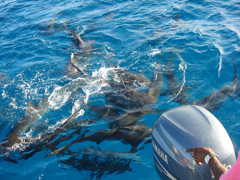 We swam with these sharks in the Bahamas....Stuart Cove   9 ft reef sharks