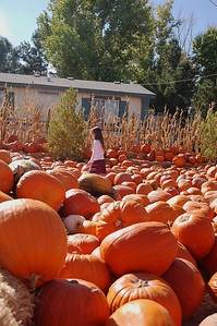 Searching for *just* the right pumpkin.  Every one must be examined for jack-o-lantern potential.