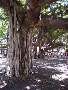Maui - Lahaina Banyan Tree