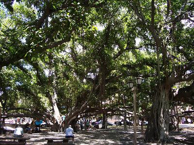 Maui - Lahaina Banyan Tree 2