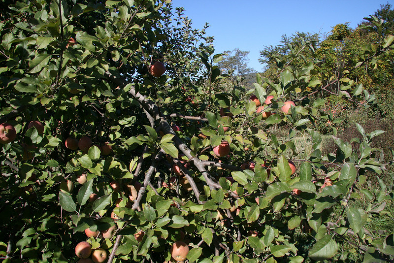 Apple Picking with Auntie Erin (6)