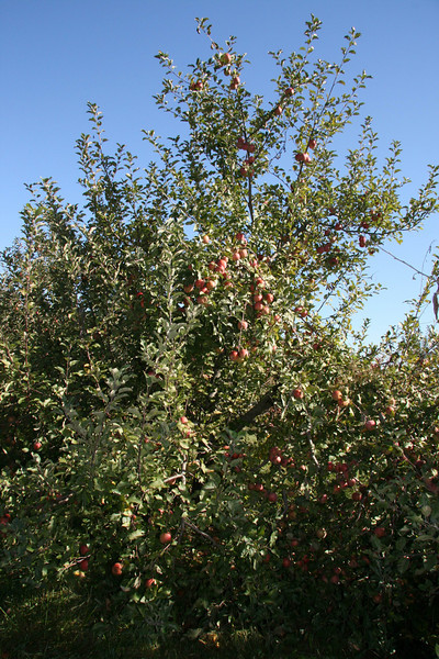 Apple Picking with Auntie Erin (18)