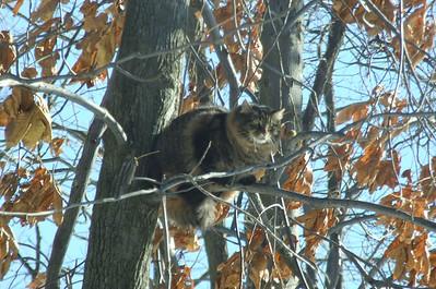 wildcat up in the tree