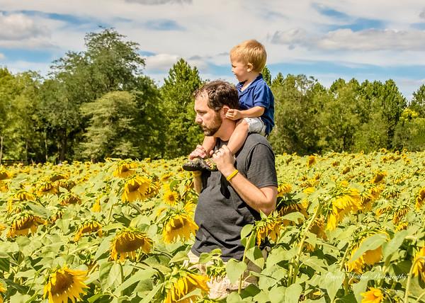 Stroll through the sunflowers