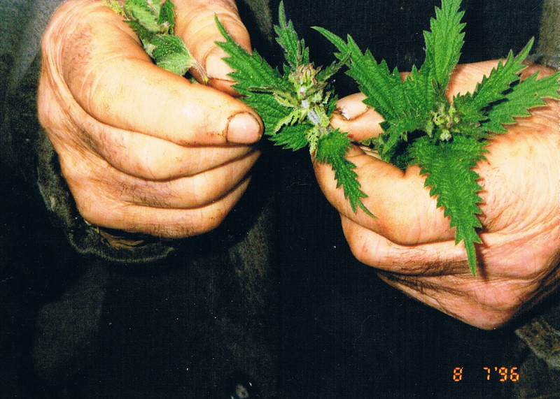Mick's hands with nettles