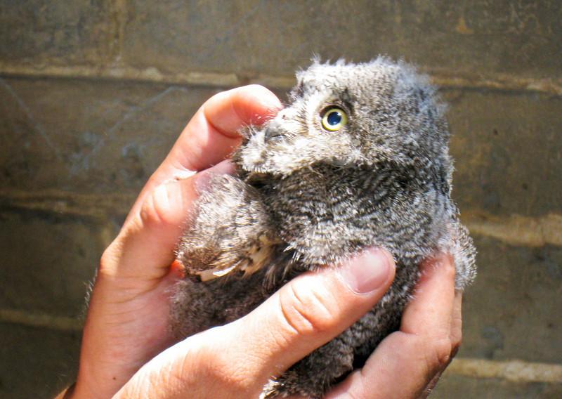 vicious owl