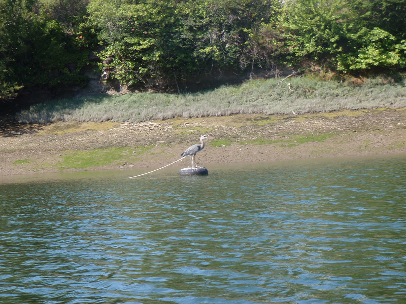 We thought the heron was a decoy, but it was real