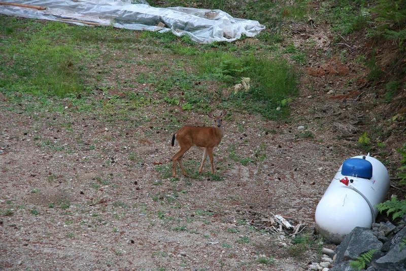 deer in lower yard