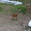 deer in lower yard