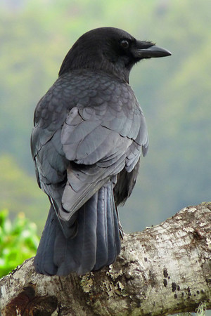 Crow awaiting a snack