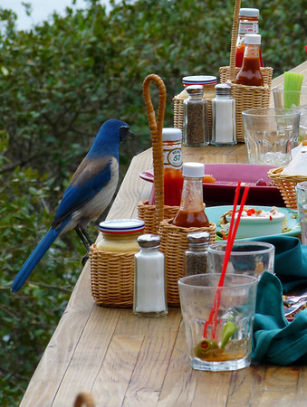 Stellar Jay doing his thing