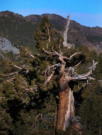 Bristlecone Pine, Ebbett's Pass CA