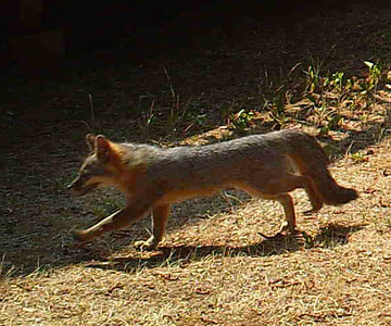 Our lil buddy the gray fox again.