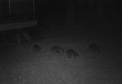A gang of rowdy raccoons looking for snacks and trouble.