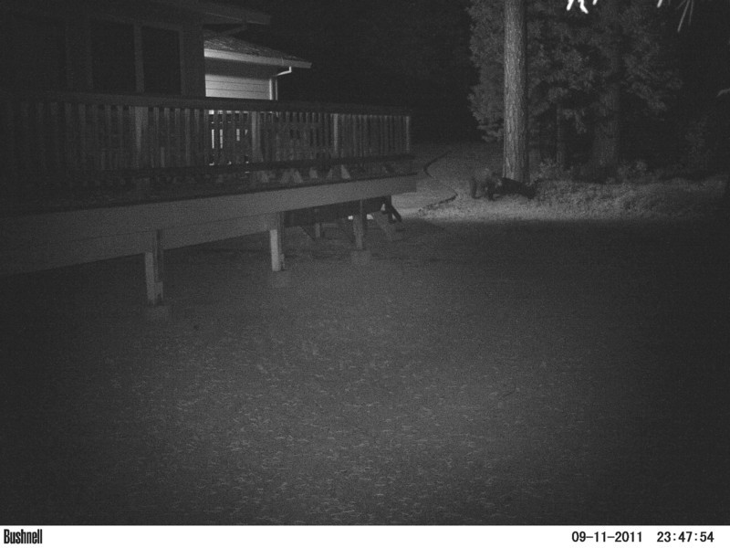 First of two Black Bear photos. Very surprised to see this guy here. He's pretty big and looks very healthy.