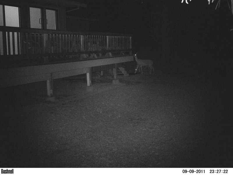 Mule Deer cruising through, checking out the deck