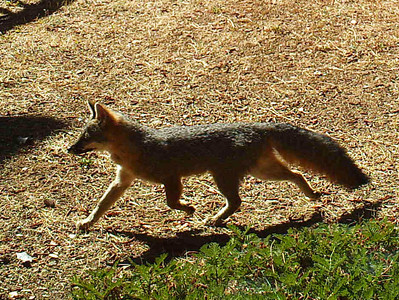 A good looking little gray fox who comes by often.