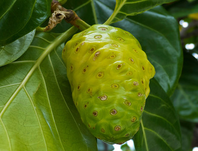 A wild Breadfruit growing on a  roadside tree.