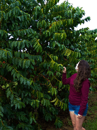 Coffee tree at Greenwell Farms