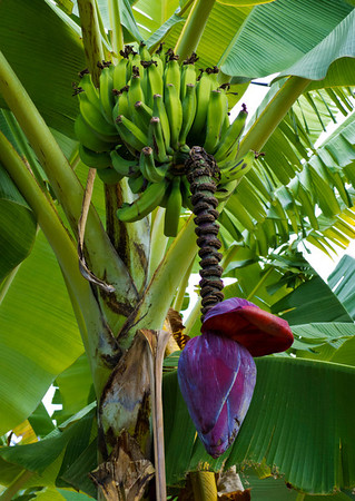 """""""Apple bananas"""" on a tree at Greenwell Farms"""