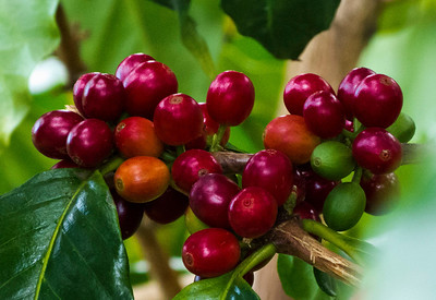 Coffee cherries, ripe for picking.