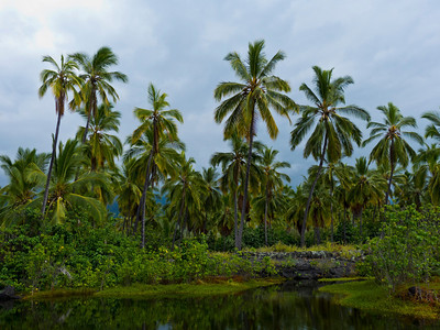 Palms at the royal fishpond, Place of Refuge.