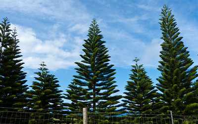 "Norfolk pine trees, also known as the ""Hawaiian Christmas Tree"", growing on Kohala Mountain Road."