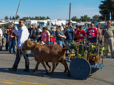 "Animal carts in the annual Portuguese ""Our Lady of Fatima"" Celebration parade in Thorton, CA."