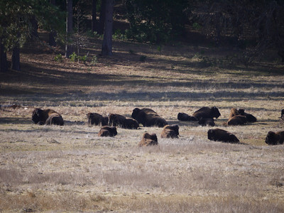 Bison near Railroad Flat, CA