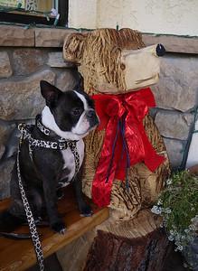 Philo the Boston Terrier in Jackson, CA