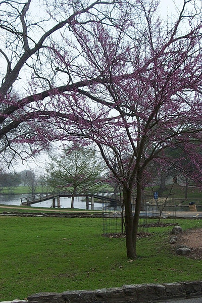 This is a redbud tree, just about to burst open with a beautiful springtime display.  Even though it was early and spring had not fully sprung yet, we really enjoyed our walk around this part of Landa Park.