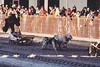February 21, 1981 - (Anchorage, Alaska) - World Sled-dog Races on the main streets of Anchorage at the annual Fur Rendezvous Festival.