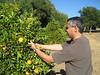 J picking oranges at Ojai