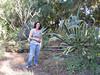 Century Plant in Carol's Backyard