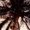 Jonathon climbing a Coconut Tree - (August 24, 1986 / Mākaha Beach Park, Waianae, Oahu, Hawaii) -- Jonathon
