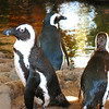 The Hyatt is home to these African Black-footed Penguins.
