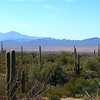 Saguaro Cactus and the Sonoran Desert
