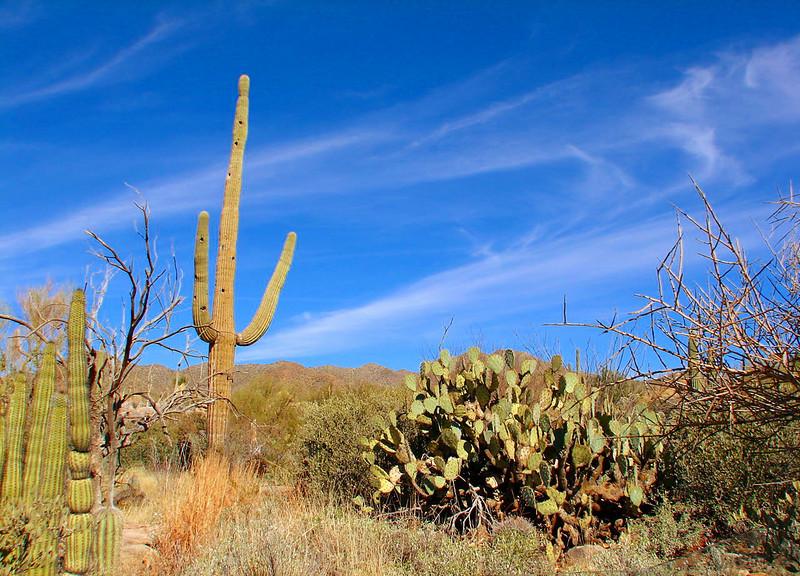 Saguaro and Prickly Pear Cactus
