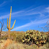 Saguaro and Prickly Pear Cactus