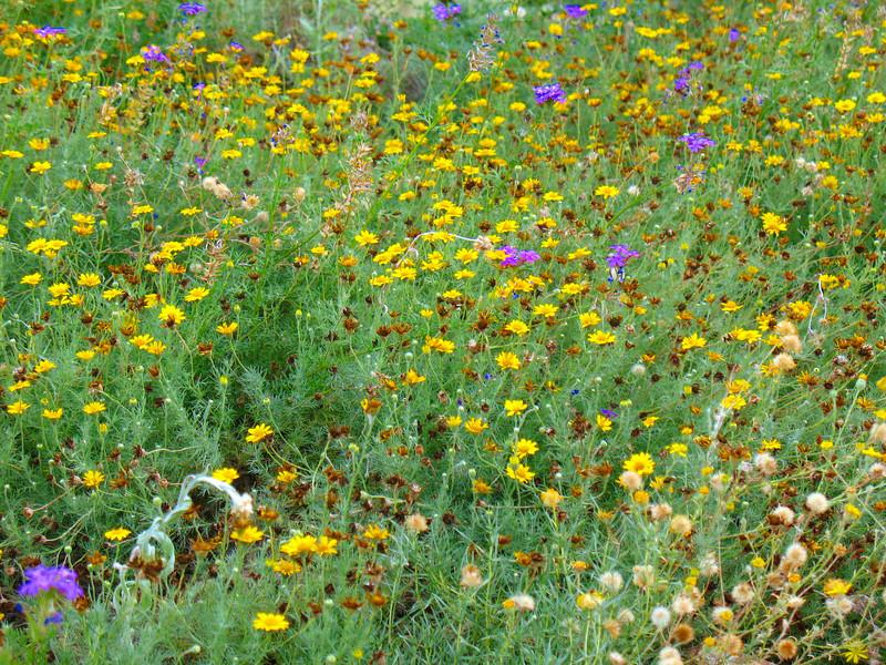 Wildflower garden at the Tucson Botanical Gardens.
