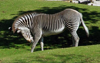 11/25/13: A Zebra at Reid Park Zoo.