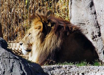 11/25/13: Mr. Lion