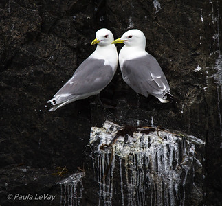 A mated pair of Black-legged Kittiwakes on nearby cliffs. Their nest was probably nearby.
