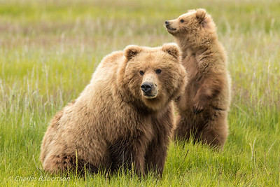 A grizzly sow and one of her three cubs checking out a possible bear intruder.